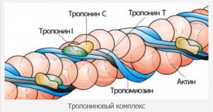 Тропонин