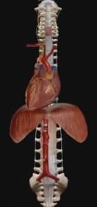 anevrizma-aorty-raspolozenie