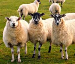 brutsellez-ovci-zarazaut