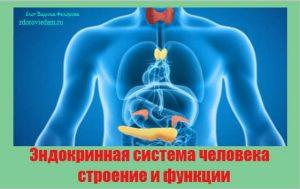 endokrinnaya-sistema-cheloveka-stroenie-i-funktsii
