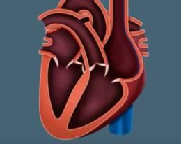 miokardiodistrofiya-stroenie-serdtza