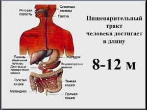 pishchevaritelnaja-sistema-cheloveka